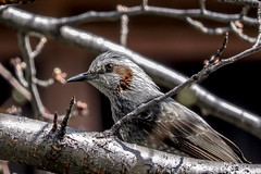 DSCN6405 (jinkemoole) Tags: animal   bird bulbul