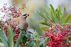 Love those Berries (Patricia Ware) Tags: bombycillacedrorum california canon cedarwaxwing httppwarezenfoliocom ©2016patriciawareallrightsreserved playadelrey unitedstatesofamerica specanimal