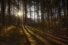 Formby Woods - November-2016_001_gpx (syberad) Tags: 2016 winter formby woods forest pine trees seaside coast coastal sssi sunrise morning landscape formbywoods formbynaturereserve merseyside november sunshot intothesun shadows shadow plants