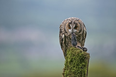 Long Eared Owl at Dinner Time (Gary Hickson Photography L.R.P.S.) Tags: wildlife wild wales welshwildlifetrust wildbird colours bird nature nikond800 owl owls