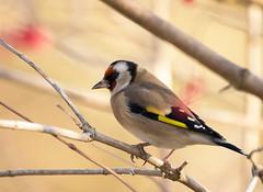 Goldfinch-1408 (Kulama) Tags: goldfinch birds nature wildlife woods bush berry animals autumn autumncolours canon7dmarkii sigma150600c563
