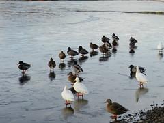 """""""Skating on ice"""", Loch Insh, near Kincraig, Nov 2016 (allanmaciver) Tags: new friends ducks birds loch insh frozen ice walking skating variety cairngorm national park scotland allanmaciver"""