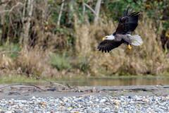Skagit River Eagles-6 (Chuck Ramsey) Tags: birds eagle skagitriver washington