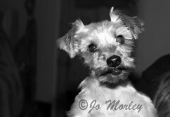Charlie (Jo_Morley) Tags: dog canine puppy doggy photography animal bw black white pup smile teeth blackandwhite watermark depthoffield composition england home house indoor uk unitedkingdom united kingdom contrast tone tones bolton yorkshire terrior yorkshireterrior monochrome pet cute adorable sony