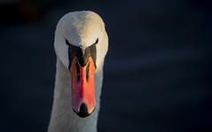 (Samuli Koukku) Tags: nature muteswan cygnusolor kyhmyjoutsen animal bird closeup dof portrait wildlife wild swan outdoor colorful finland canon 1dx2 ef600 sunrise seurasaari