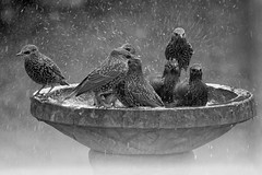 Starlings-2-mono_0268 (Peter Warne-Epping Forest) Tags: starlings birdbath essexgarden brrr freezing essex woodfordgreen