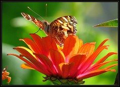 IMG_1811 Lady in Red (I Adore You) 9-15-16 (arkansas traveler) Tags: paintedlady paintedladybutterfly butterfly bichos bugs insects flowers zinnia nature naturewatcher natureartphotography bokeh bokehlicious zoom telephoto