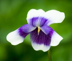 Viola hederacea (Roniyo888) Tags: viola hederacea australia small violet white flower green leaf outdoor depth field bright serene