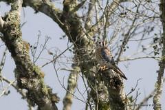 American Kestrel (Falco sparverius) (Gmo_CR) Tags: falcosparverius americankestrel cernícaloamericano klisklis camaleón coronado patiodeagua costarica male macho