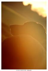 Pooky (aurelierouyer) Tags: portrait canin coucherdesoleil couleurs couleursdautomne automne ctedor bourgogne france mydog pooky labrador blacklab