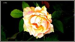 For you ... (o.dirce) Tags: flor rosa planta natureza nature rio maravilhosa odirce
