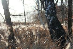 (farbstich.) Tags: ryck birken birches trees nature sunlight bokeh 90mm natur betulapendula sonnenlicht gegenlicht baum bume winter sun sonne forest