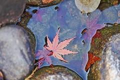 Autumn (jcphoto-2013) Tags: autumn autumnleaves november eos6d