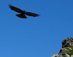 Alpine Chough (s.howarth@ymail.com) Tags: france alps chough birds