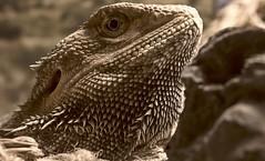 Zeus (ertolima) Tags: reptile eye scales alive animal dragon macro hmm macromondays redux2016 itsalive myfavoritethemeoftheyear