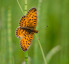 Butterfly (Zog the Frog) Tags: orange green butterfly fritillary