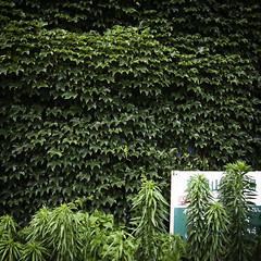 Green Vined Wall with Weeds and Sign, Ichikawa (jacob schere [in the 03 strategically planning]) Tags: house home window sign japan wall digital square tokyo vines weeds weed jacob curtain 4 vine communication climbing cover covered chiba gr lucid iv ricoh ichikawa m2c schere  engulfed  dgr  greencurtain jacobschere lucidcommunication