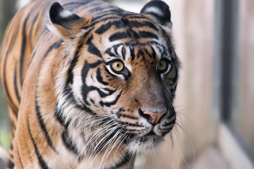 Tiikeri dating