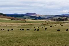 plains (pamelaadam) Tags: nature animal digital march scotland spring aberdeenshire sheep fotolog 2009 thebiggestgroup