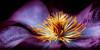 clematis (hannes cmarits) Tags: summer panorama stilllife orange plant flower macro art beautiful beauty yellow closeup bar garden poster blossom pano fineart lounge clematis violet elegant spa 2x1 wellness elegance fashionable purble hcsp softengineer cmarits