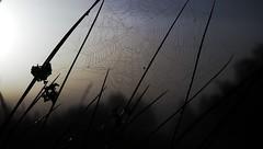 Taunasses Spinnennetz im Gegenlicht; Tetenhusener Moor (19) (Chironius) Tags: morning fog sunrise germany deutschland dawn wasser nebel alba pantano amanecer peat swamp bottoms alemania marsh dmmerung moor bog marais sonnenaufgang allemagne morgen niebla brouillard germania ochtend schleswigholstein sump matin gegenlicht  morgens zonsopgang mattina aube ogie sumpf pomie morgendmmerung morgengrauen niemcy dageraad  tourbire    turbera pomienie marcageuse szlezwigholsztyn