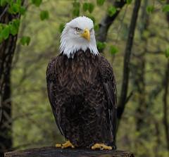 Bald Eagle_DSC9722 (DansPhotoArt) Tags: portrait usa bird nature fauna freedom eagle symbol wildlife profile baldeagle aves icon raptor brave strength americaneagle courage fisheagle passaros wbs worldbirdsanctuary d7100