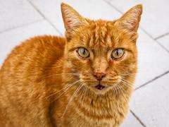 Curious cat (Marc Rauw.) Tags: portrait pet animal cat lumix eyes kitty olympus panasonic stare curious 20mm olympuspen curiousity f17 m43 epl1 μ43 panasoniclumix20mmf17 microfourthids