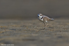 CG_IMG_4109L (Chye Guan, Tan) Tags: bird nature birds animals singapore wildlife plover shorebirds malaysianplover seletardam canon7d canonef600mmii