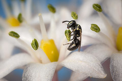 Hylaeus sp. (macropoulos) Tags: topf50 500v20f bee 500v50f animalia arthropoda gettyimages hymenoptera insecta apocrita canoneos5d canonspeedlite430ex 1500v60f 1000v40f colletidae canonmpe65mmf2815xmacro hylaeus gettyimages:date_added=20131029 •¨☼brightandbeautiful☼¨•