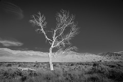 Lonesome Tree (Chris28mm) Tags: california bw tree nature pine landscape lone 395 lonesome chris28mm thesecretlifeoftrees