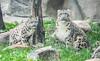 Snow Leopards 39 (Jan Crites) Tags: cats animal zoo cub illinois nikon wildlife leopard brookfield spotted everest bigcats snowleopard brookfieldzoo d600 sarani