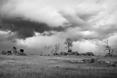 Australian Landscape (Stephen A. Wolfe) Tags: vacation blackandwhite bw blackwhite sheep australia places 2012 niksoftware silverefexpro2 fujix100 adobelightroom4