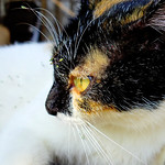 Calico Cat, Holmes (♀ 1 years) thumbnail