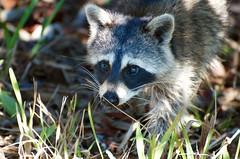 _DW12356 (Upstate Dave) Tags: florida raccoon sanibelisland mammals dingdarlingnationalwildliferefuge