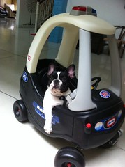 (p.leonardi) Tags: madame dog pet car indonesia french police bulldog frenchbulldog doggy bandung patrol dogi anjing sapi