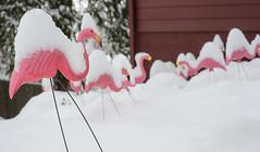 Pink flamingos in snow (acase1968) Tags: winter oregon nikon f14 lawn 85mm sigma ornaments ashland d600
