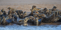 1DX_8896 (flipperJB) Tags: seal seals sealcolony