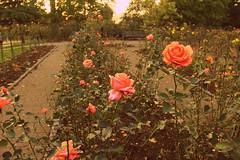 roses garden, holland park, london. (Las Venas Abiertas de America Latina) Tags: park travel flowers roses england holland color cute london love nature beautiful garden happy ngc 60d canon60d