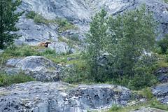_MG_4274a (markbyzewski) Tags: alaska ugly brownbear grizzlybear glacierbaynationalpark