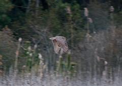 Horton Hears a Hoot Owl (martytdx) Tags: birds nj owl capemay birdofprey greathornedowl bubo bubovirginianus capemaypointstatepark strigidae
