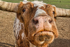 Feed me! (Travels with Kathleen) Tags: ranch face animal mouth texas cattle longhorn steer feedme