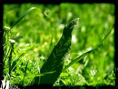 Plant (m.r.reza) Tags: ایران بهار گیاه طبیعت سبزه ایلام