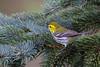 _53F9709 Black-throated Green Warbler (female) (~ Michaela Sagatova ~) Tags: ontario female blackthroatedgreenwarbler dendroicavirens dundas woodwarbler dvca michaelasagatova