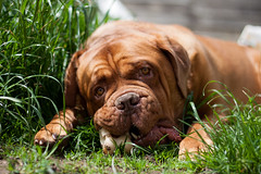 Happiness is a bone... (Harold Bishop's Love Child) Tags: dog pets grass animals puppy french eyes mastiff droopy bone jowls dogue doguedebordeaux frenchmastiff