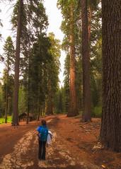 Wandering in the Grove (wnourse) Tags: california landscape yosemite yosemitenationalpark hdr mariposagrove