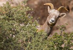 big horn sheep (Jami Bollschweiler Photography) Tags: big horn sheep utah zions national park why hello peeking around bush wildlife photography