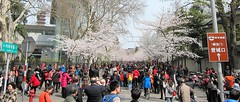 Celebrating the arrival of Spring - Nanjing (Mary Faith.) Tags: china nanjing jimingsi road spring blossom celebration crowd trees