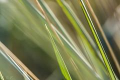 Strandhafer (dorisfricke) Tags: grn makro strand wind detail pastell