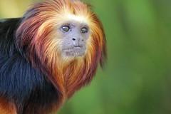 Golden Headed Lion Tamarin (charliejb) Tags: goldenheadedliontamarin tamarin goldenheaded 2016 bristolzoo wildlife mammal primate fur furry furred clifton