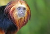 Golden Headed Lion Tamarin (charliejb) Tags: goldenheadedliontamarin tamarin goldenheaded 2016 bristolzoo wildlife mammal primate fur furry furred clifton